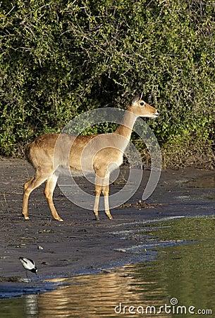 Puku Antelope - Botswana