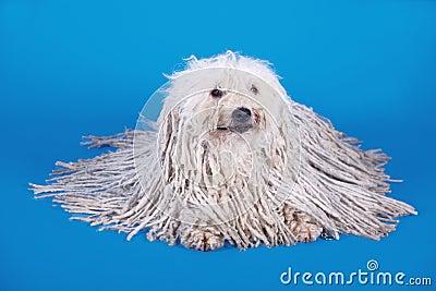 Puli dog