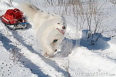 Pulk del transporte del perro de Samoed
