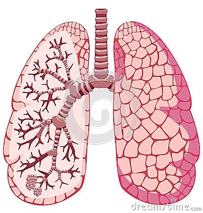 external image pulmones-humanos-16603582.jpg