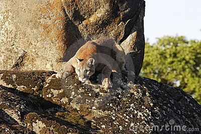 Puma auf Boulder