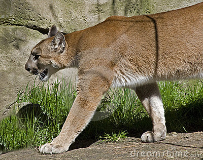 Puma auf dem Prowl
