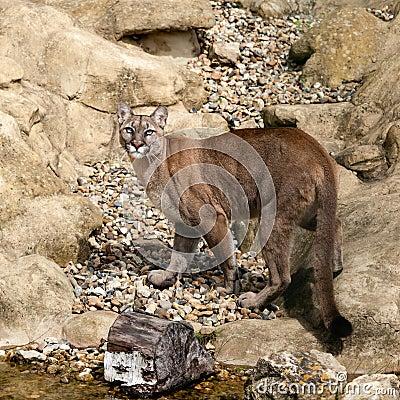 Puma Camouflaged on Rocks Looking Up