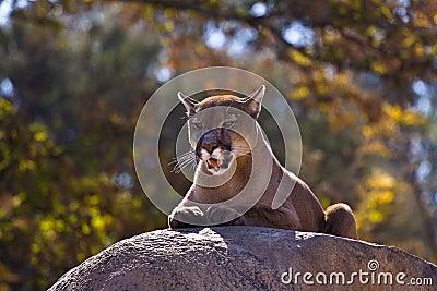 Puma Concolor (Cougar) II