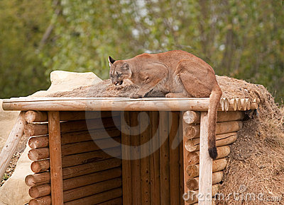 Puma crouching on shelter roof