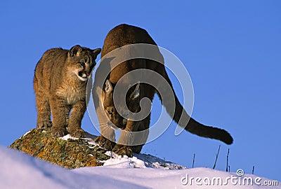 Puma, das ihrem Cub unterrichtet, wie man jagt