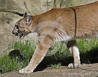 Puma en el vagabundeo