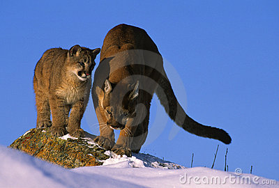 Puma enseignant à son Cub comment chasser