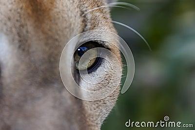 Puma Eye