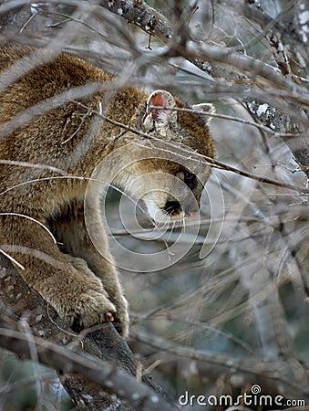 Puma (Felis Concolor) encima de un árbol