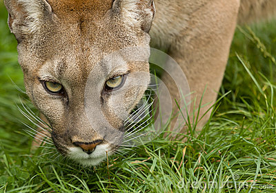 Puma Poised To Attack