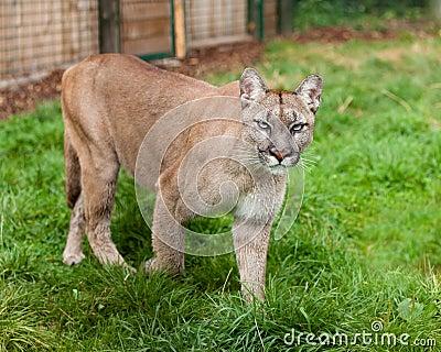 Puma que acecha con recinto
