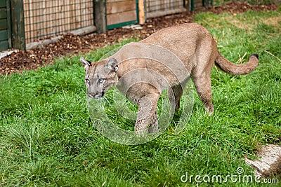Puma Stalking Through Enclosure