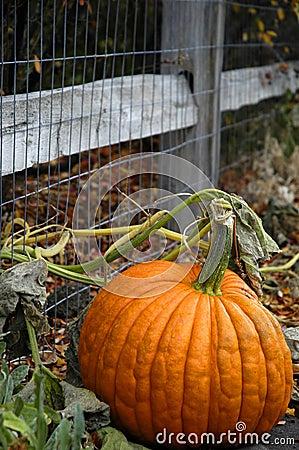 Free Pumpkin Stock Image - 1352591