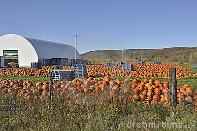 Pumpkin Farm Harvest
