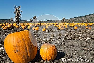 Pumpkin field after harvest