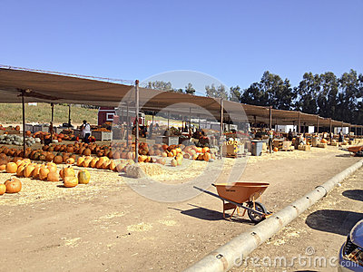 Pumpkin Field Market Editorial Photography