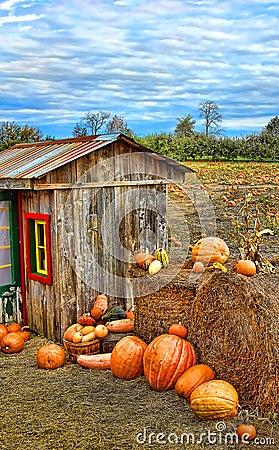 Free Pumpkin Harvest Season On The Farm Royalty Free Stock Images - 16477169