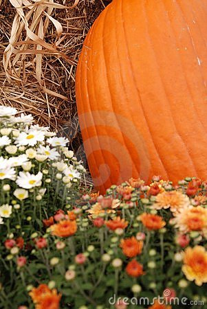 Pumpkin With Mums Stock Photo - Image: 11321500