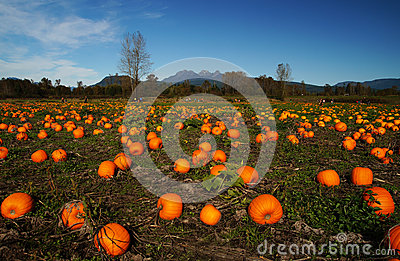 Pumpkin Patch Stock Photo Image 45250919