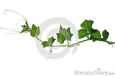 Pumpkin steam and leaf