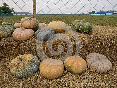 Pumpkin on the straw in farm.