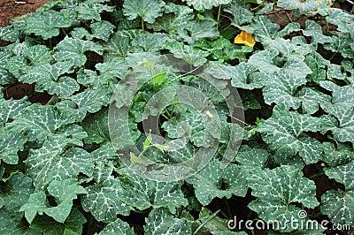 Pumpkin vine 2