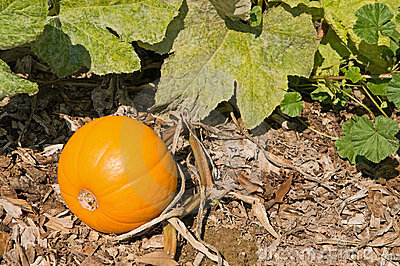 Pumpkin on the vine