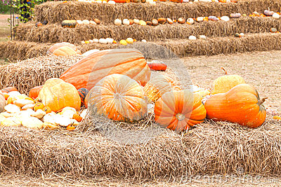 Pumpkins with different colours in the field