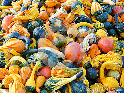 Pumpkins and Gourd Harvest
