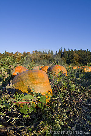 Pumpkins harvest