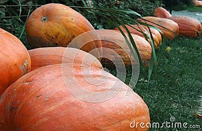 Pumpkins prepared for Halloween