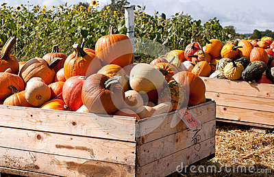 Pumpkins in the wooden boxes ready for sale