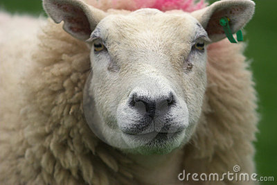 Punk sheep