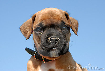 Pup boxer