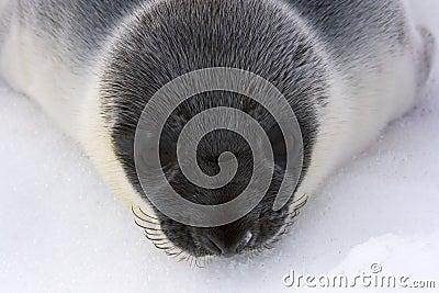 Pup di foca dal cappuccio