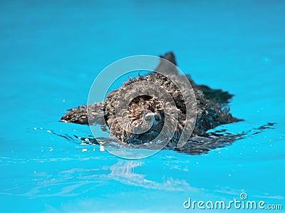 Pup swimming.