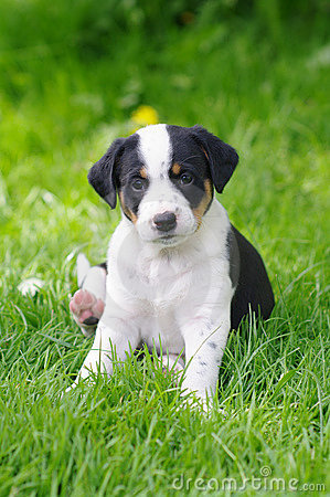 Free Puppies Royalty Free Stock Images - 7253709