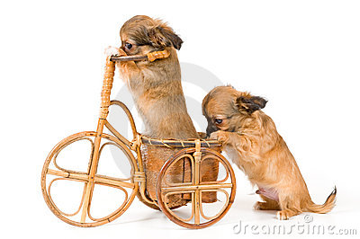The puppies chihuahua on a bicycle
