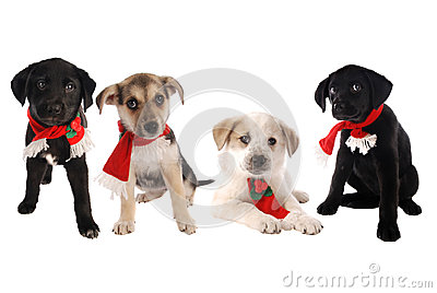 Puppies in Christmas Holiday Scarves