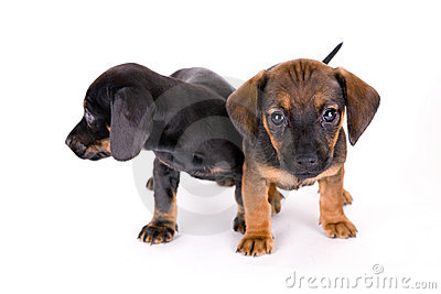 Puppies of dachshund