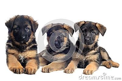 Puppies german shepherds