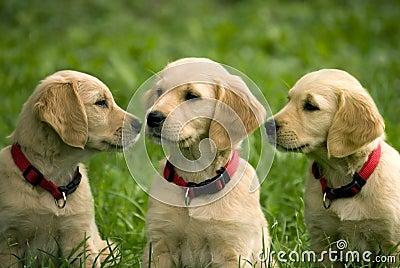 Puppies of golden retriever