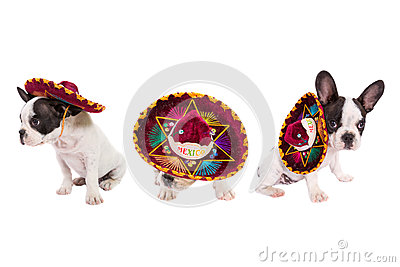 Puppies in Mexican sombrero over white