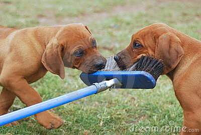 Puppies playing with broom