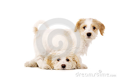 Puppies Playing Isolated On A White Background Royalty Free Stock Photography - Image: 28900397