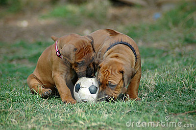 Puppies playing with toy