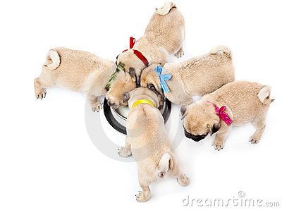 Puppies of pug near bowl with milk