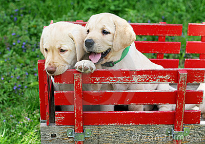 Puppies in red cart