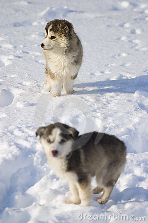 Stock Photography: Puppies in snow